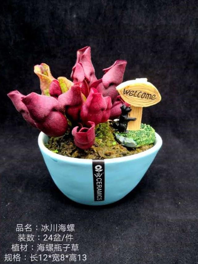 冰川海螺 24盆/件 自然猫