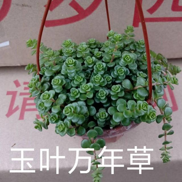 玉叶万年草盆吊105# 30盆/件 多多