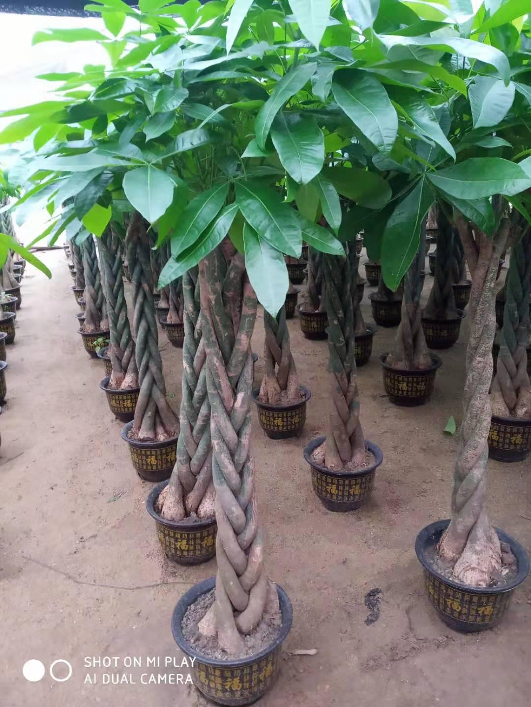 大五编发财树高1.7米 1盆 穗丰