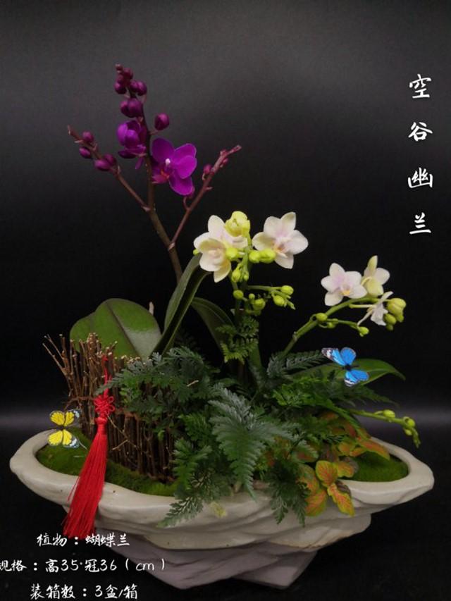 蝴蝶兰-空谷幽兰 3盆/件 卉海