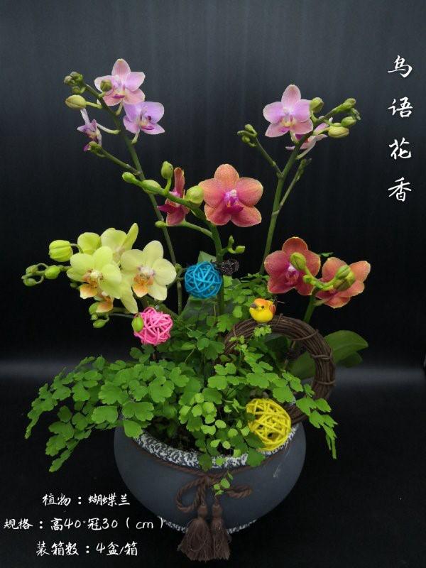 蝴蝶兰-鸟语花香 4盆/件 卉海