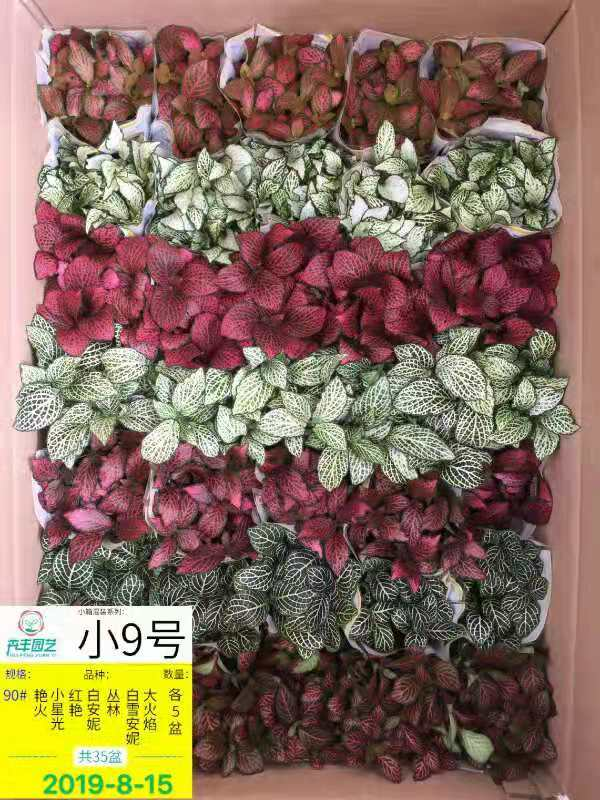 网纹草(小9号)90# 35盆/件 卉丰