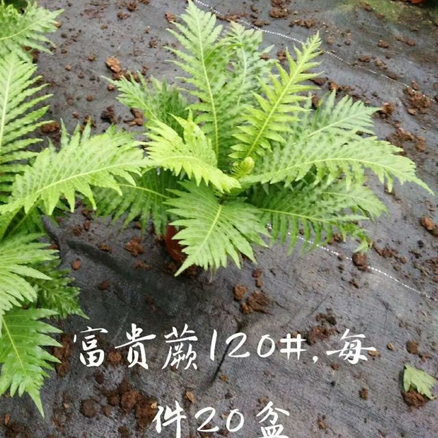 富贵蕨120# 20盆/件 昌盛