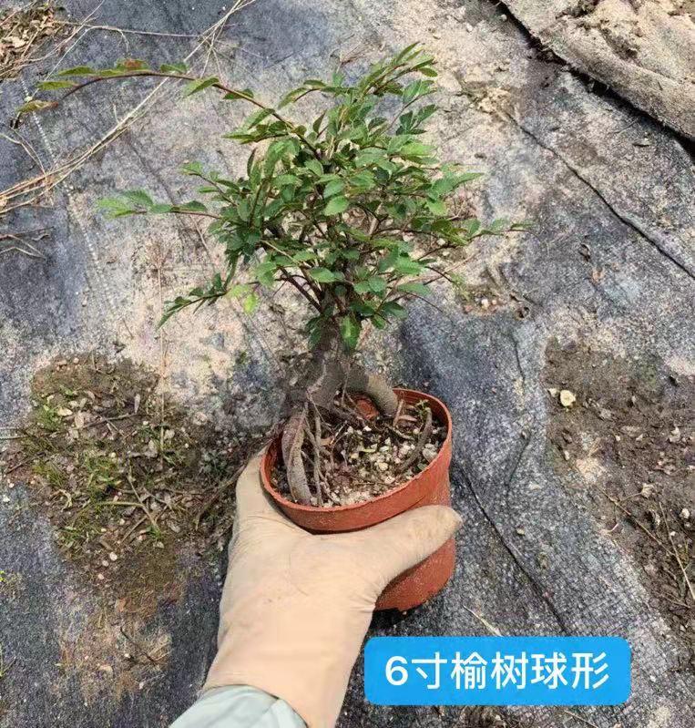 6寸榆树球形 35盆/件 大大盆景