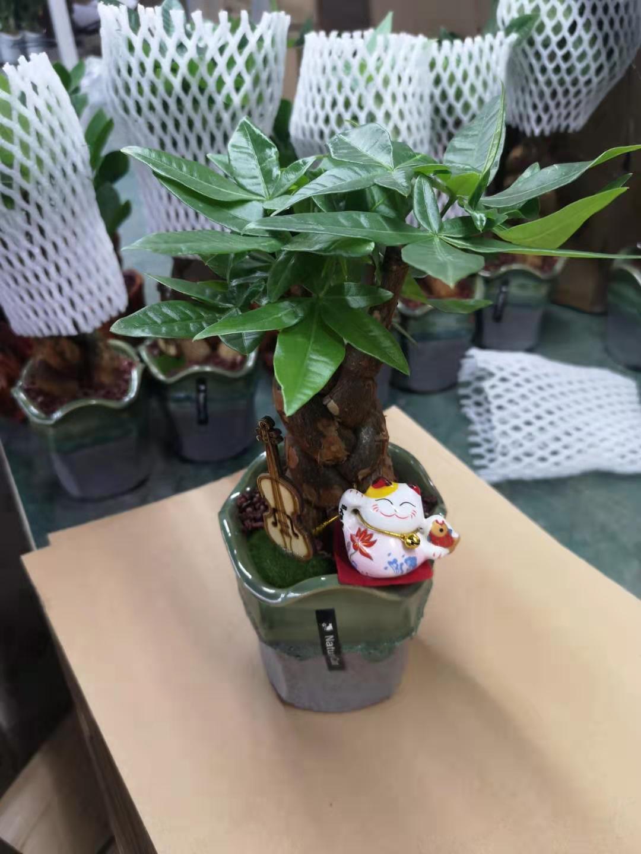 绿盆三编发财树 16盆/件 自然猫