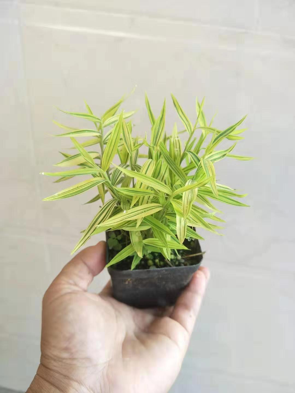 黄金竹 48盆/件 跃红