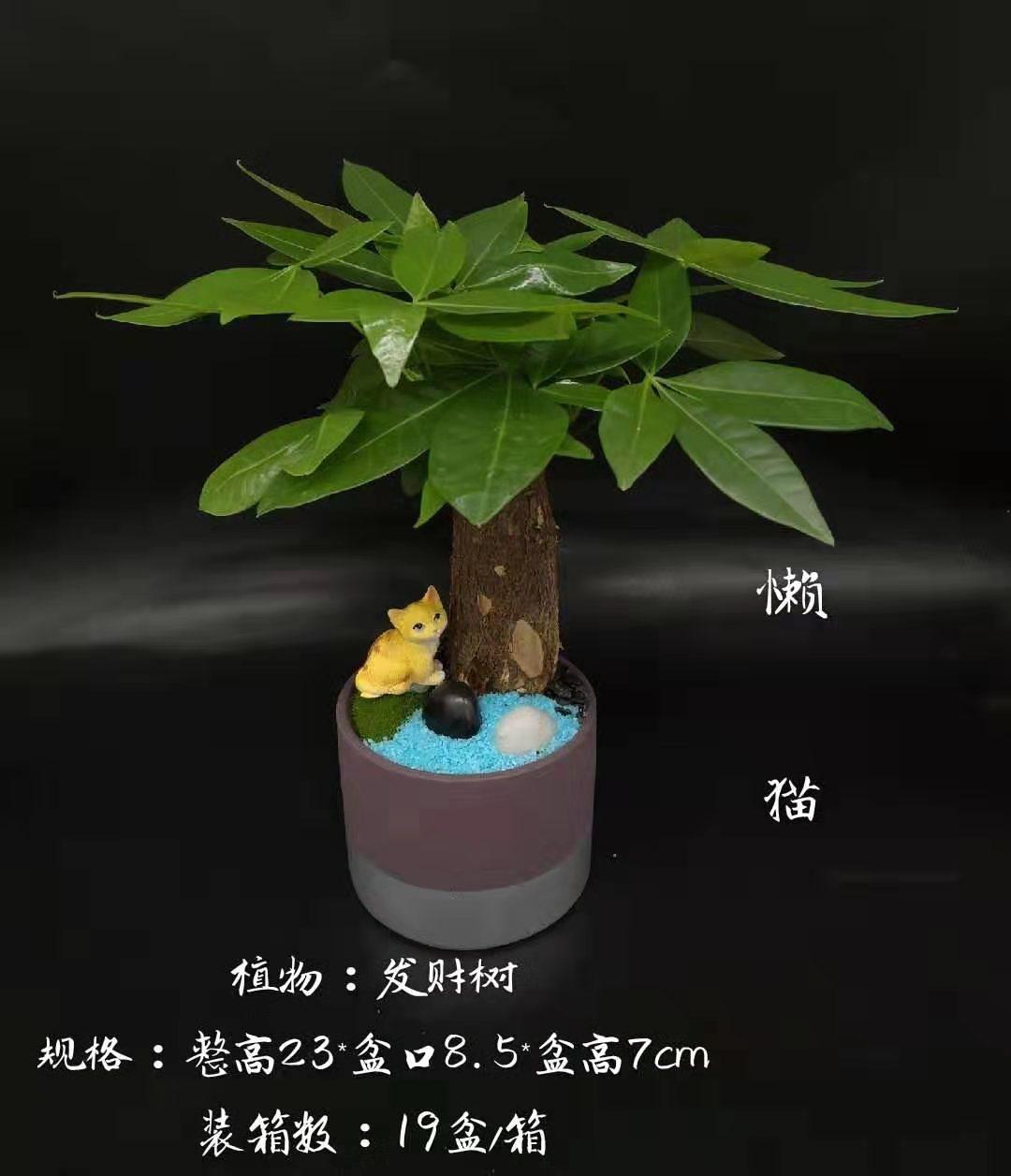 懒猫 19盆/件 卉海