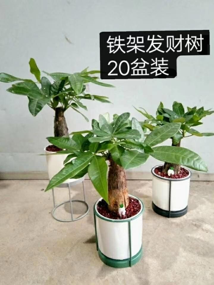 铁架发财树  20盆/件 小蚯蚓