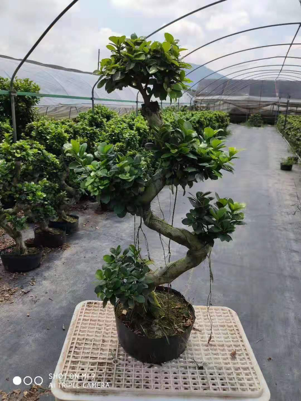 S型榕树 8盆/件 芗江