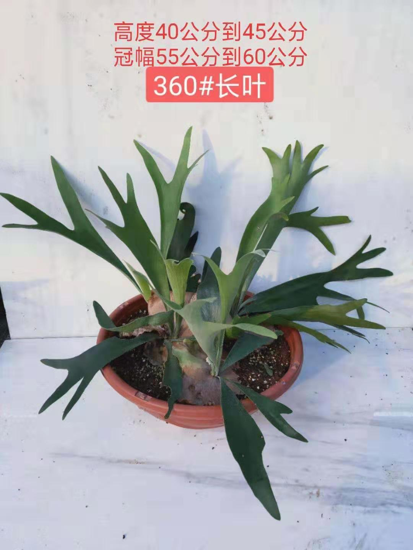 长叶鹿角蕨360# 1盆/件 运天