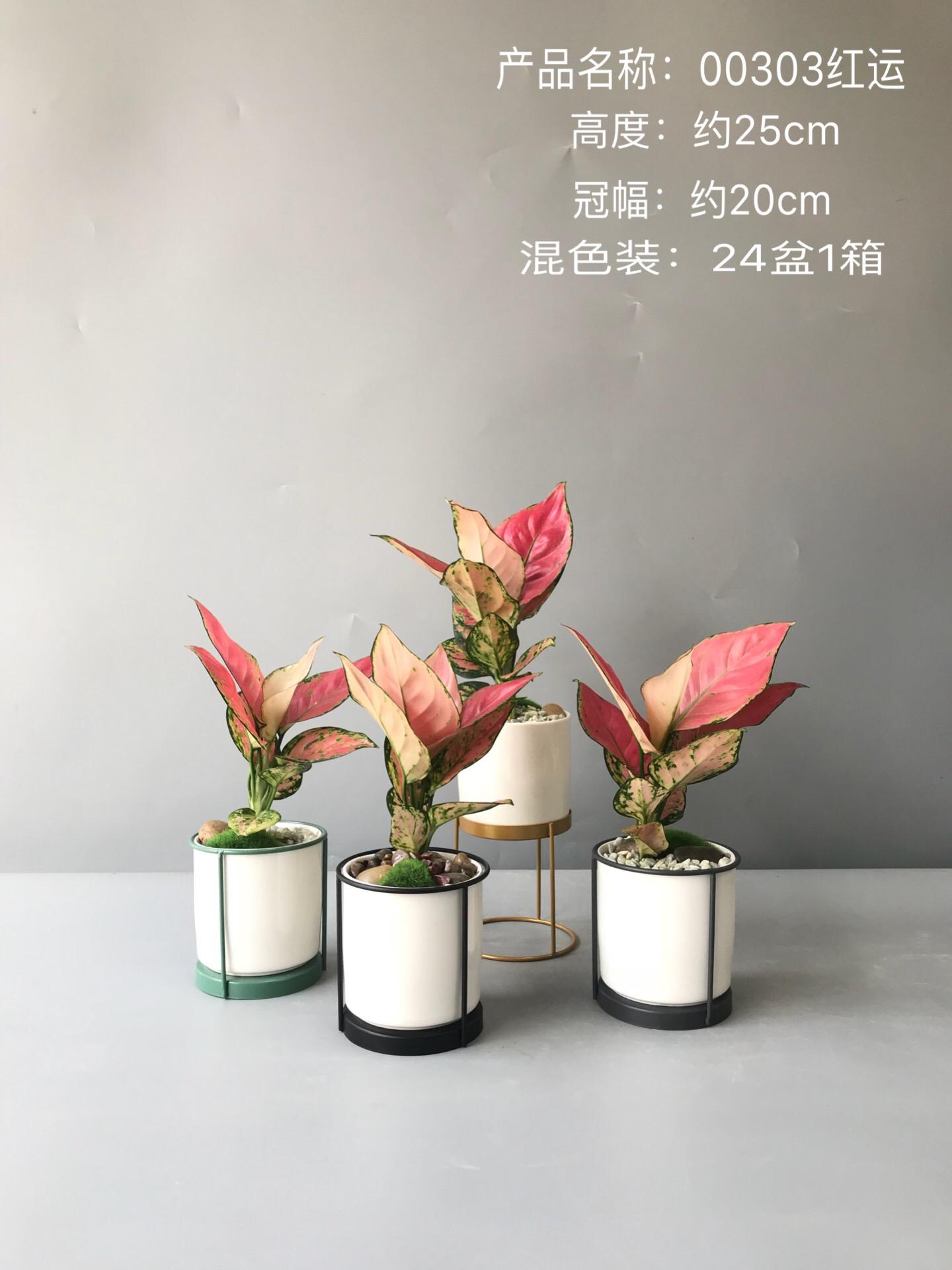 红运 24盆/件 芸采