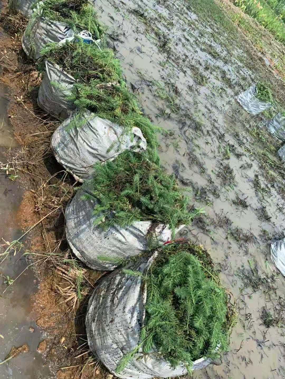 狐尾藻 1袋装 晴朗