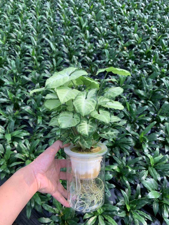 水培绿精灵(硬直筒杯) 24盆/件 玉润