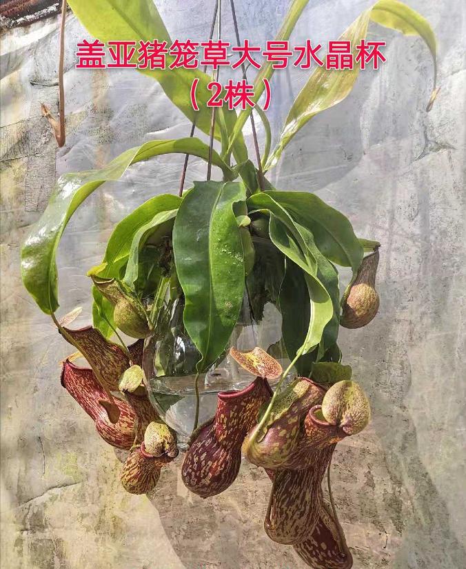 盖亚猪笼草大号水晶杯 12盆/件 菲朗