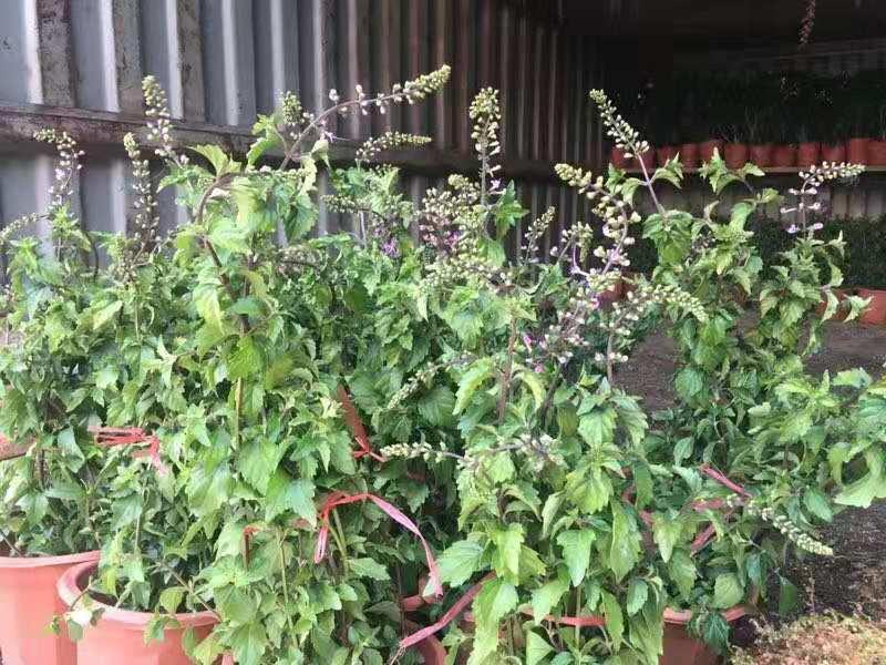 紫猫须 15盆/件 大观