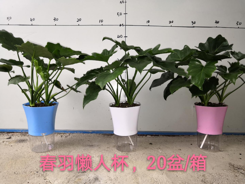 懒人杯春羽 20盆/件 阳光